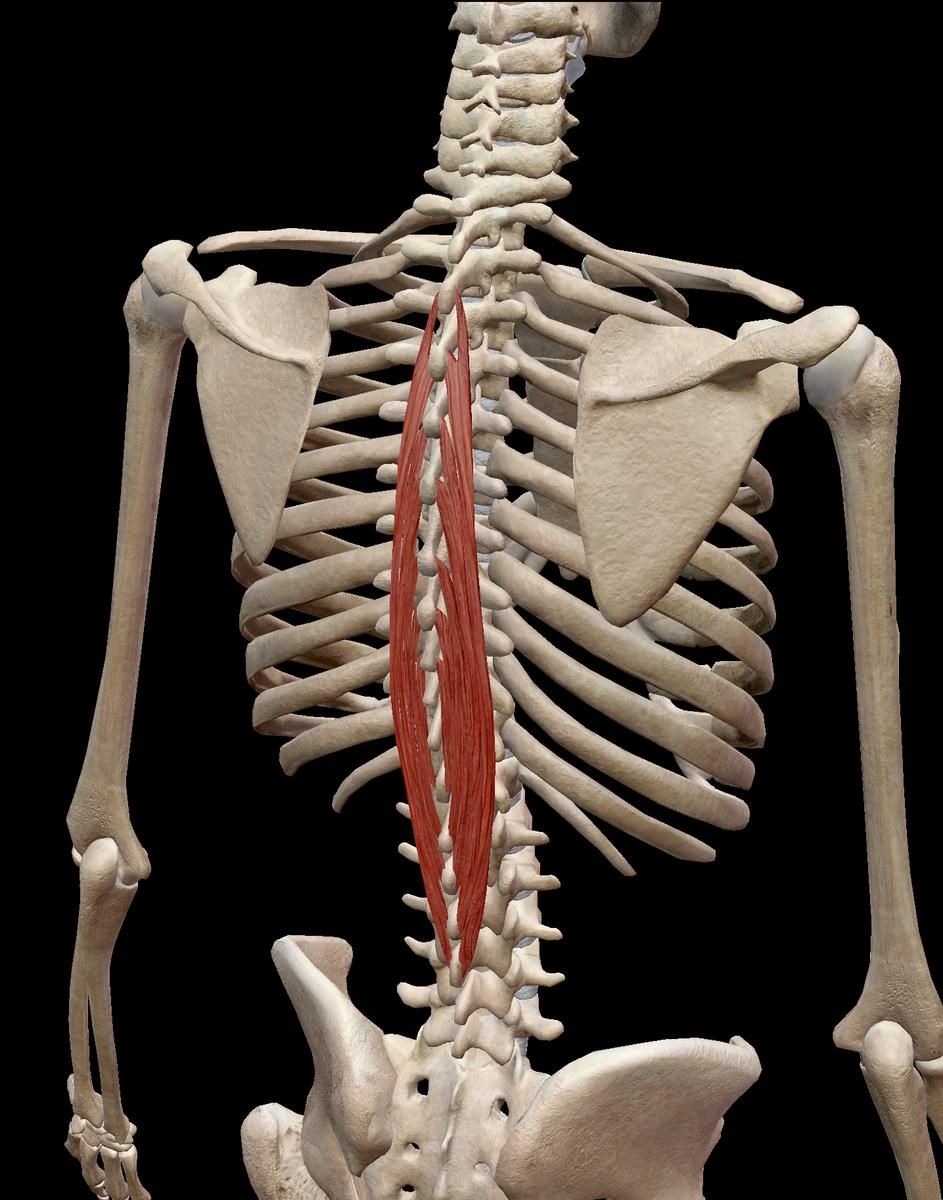 胸棘筋画像