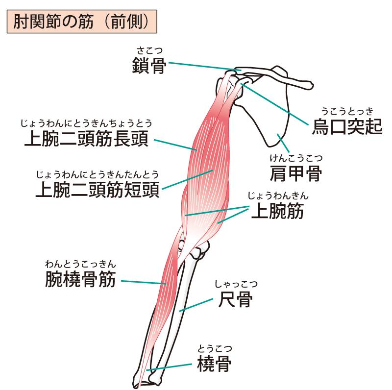 肘関節の筋肉