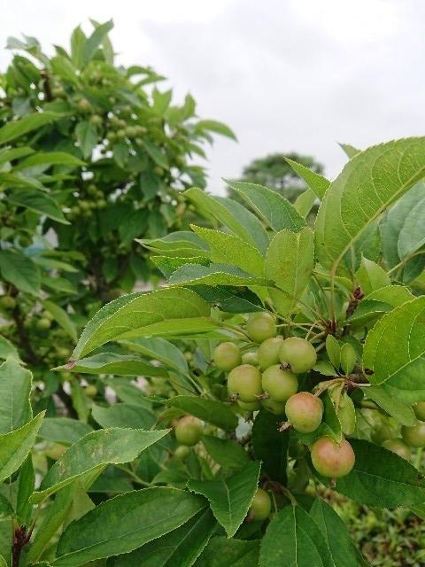 f:id:toukaen-bonsai:20190803112953j:plain