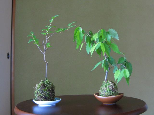 f:id:toukaen-bonsai:20190806111747j:plain