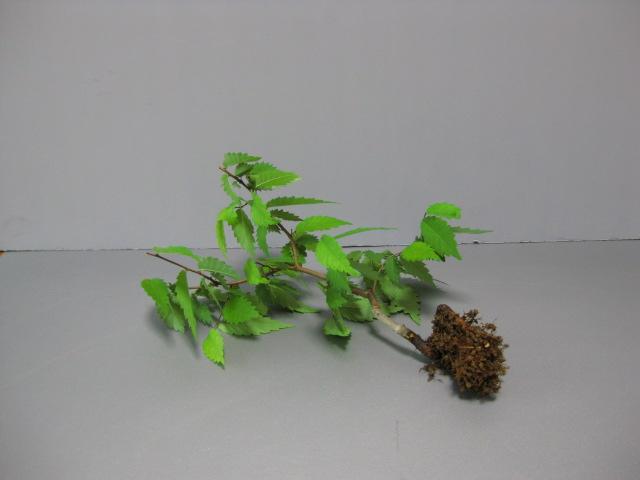 f:id:toukaen-bonsai:20190806114824j:plain