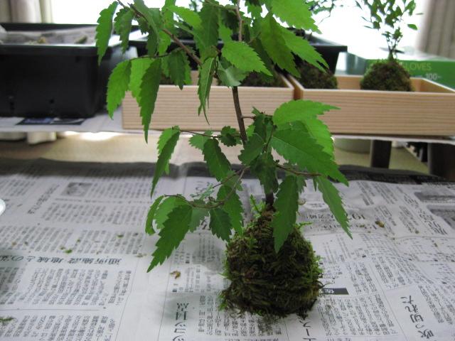 f:id:toukaen-bonsai:20190806115616j:plain