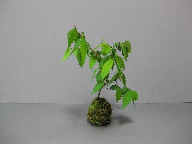 f:id:toukaen-bonsai:20190806120108j:plain
