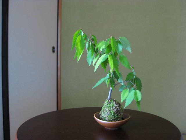 f:id:toukaen-bonsai:20190806120228j:plain