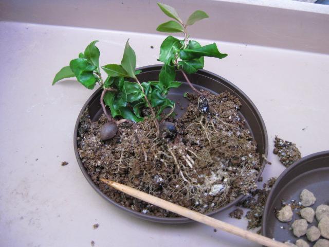 f:id:toukaen-bonsai:20190830150711j:plain