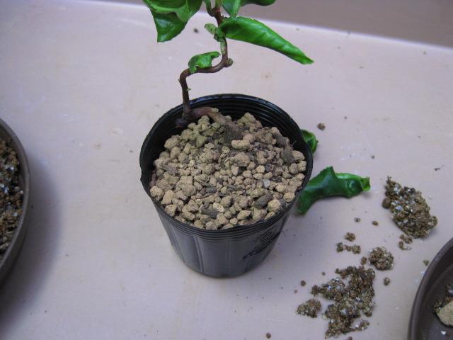f:id:toukaen-bonsai:20190830150949j:plain