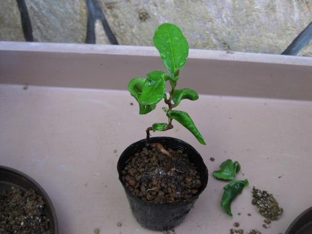 f:id:toukaen-bonsai:20190830151024j:plain