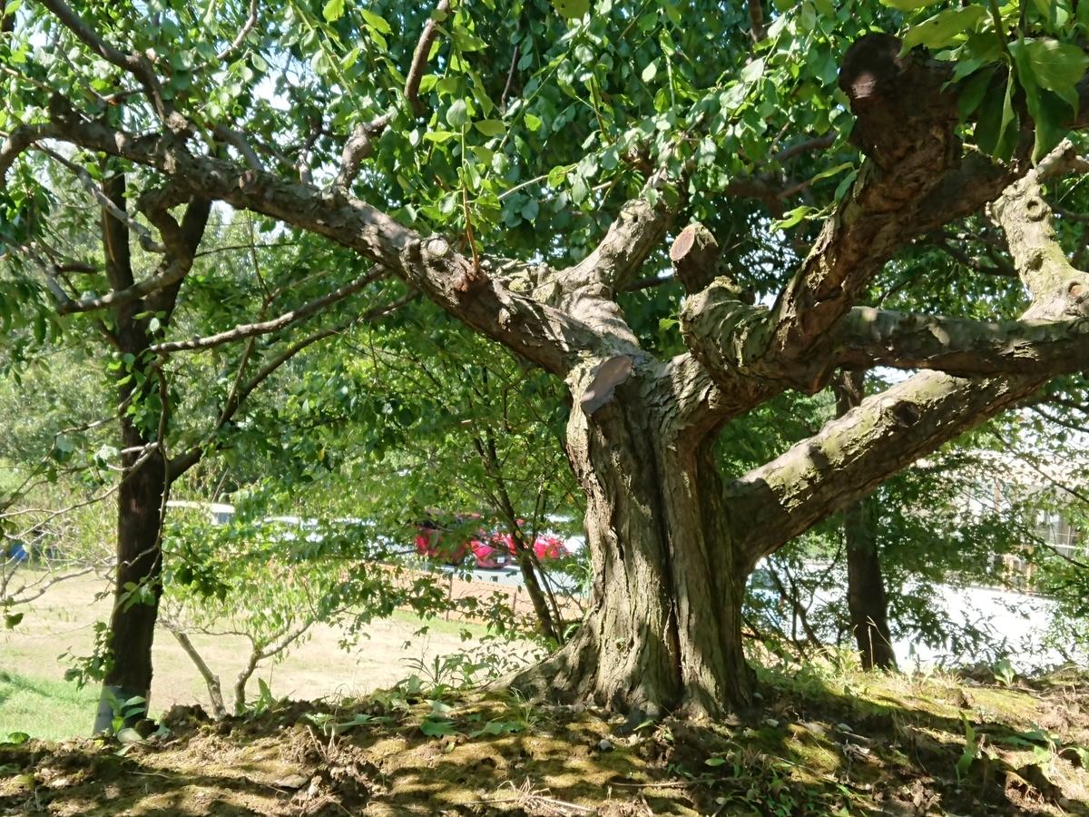 f:id:toukaen-bonsai:20190904143350j:plain
