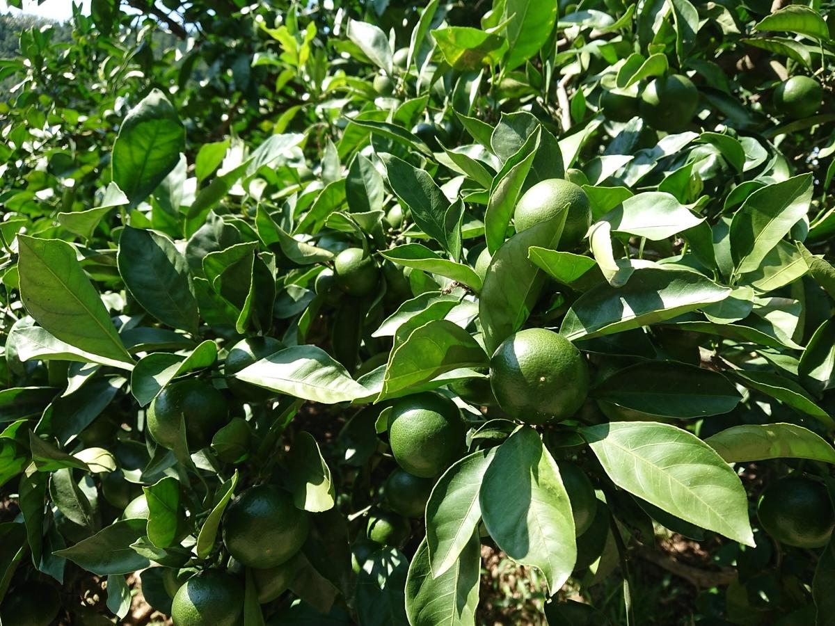 f:id:toukaen-bonsai:20190904143416j:plain