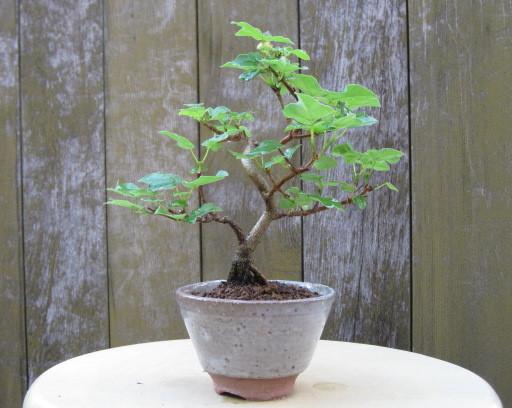 f:id:toukaen-bonsai:20190904153941j:plain
