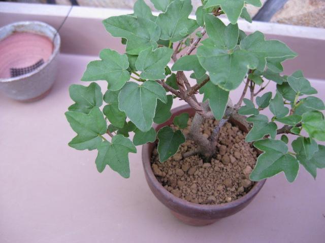f:id:toukaen-bonsai:20190904161527j:plain