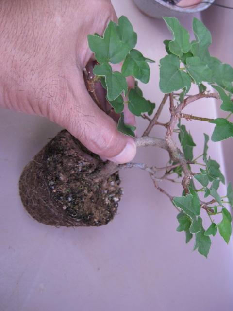 f:id:toukaen-bonsai:20190904161532j:plain