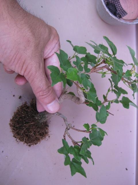 f:id:toukaen-bonsai:20190904161600j:plain