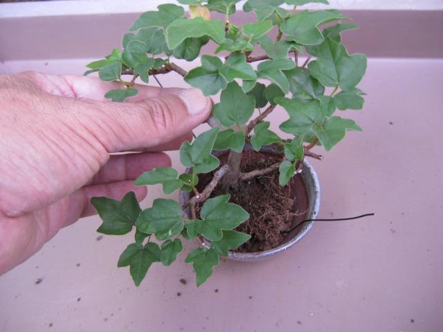 f:id:toukaen-bonsai:20190904161621j:plain