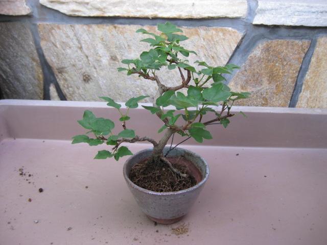f:id:toukaen-bonsai:20190904161635j:plain