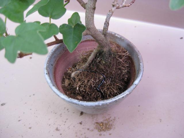 f:id:toukaen-bonsai:20190904161646j:plain