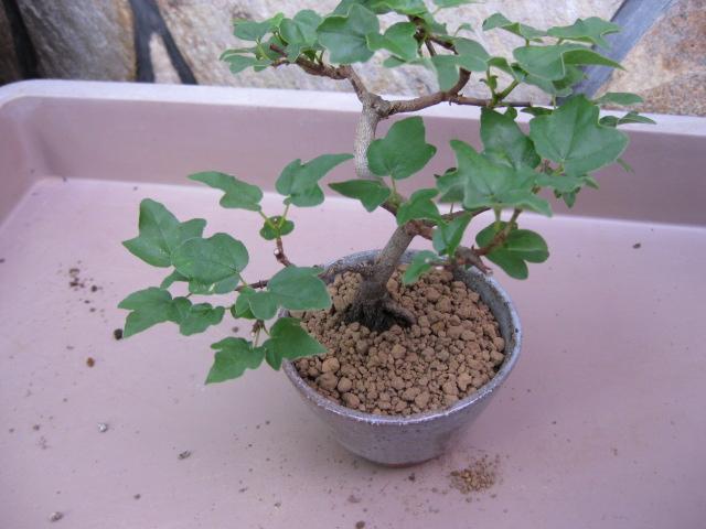 f:id:toukaen-bonsai:20190904161653j:plain