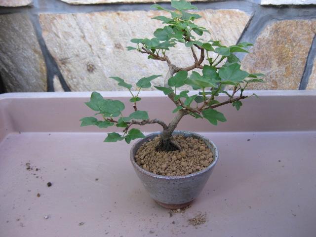 f:id:toukaen-bonsai:20190904161713j:plain
