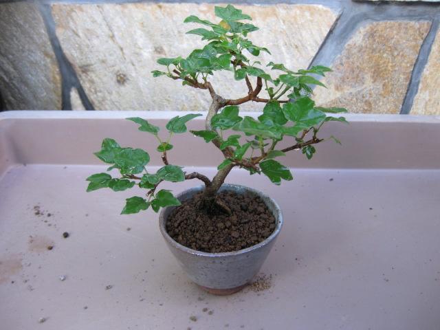 f:id:toukaen-bonsai:20190904161718j:plain