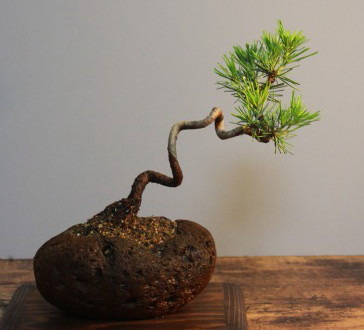 f:id:toukaen-bonsai:20190906162921j:plain