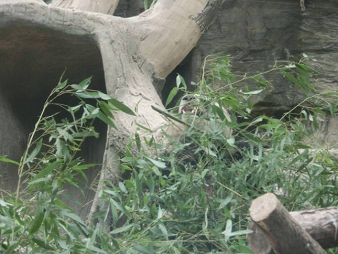 少しやる気の笹喰いパンダ5号