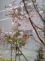 冬に咲くジュウガツ桜が満開♪