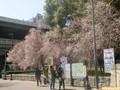 大阪城公園の早咲きサクラ★