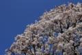 [京都][桜][植物]桜1/4