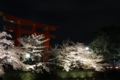 [京都][桜][植物]京都新聞写真コンテスト 夜桜と大鳥居