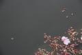 [京都][桜][植物]京都新聞写真コンテスト 漂着