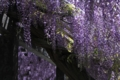[京都][植物]京都新聞写真コンテスト 藤の園
