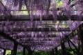 [京都][植物]京都新聞写真コンテスト 藤の浪