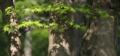 [京都][植物]もみじ(南禅寺)