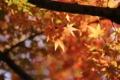 [京都][植物]京都新聞写真コンテスト 紅葉真っ盛り