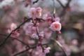 [京都][植物]梅だより