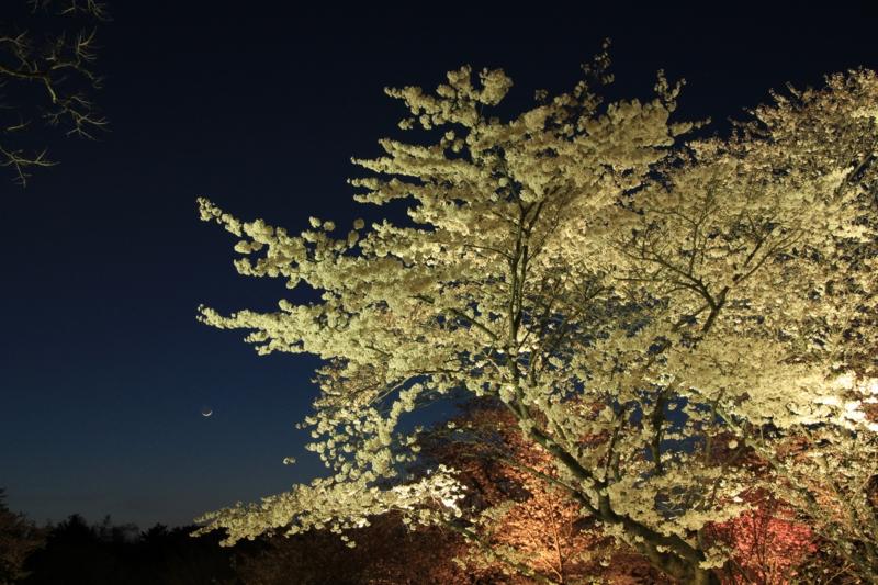 京都新聞写真コンテスト 夜桜見物