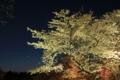 [京都][植物]京都新聞写真コンテスト 夜桜見物