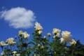 [京都][府立植物園][植物]バラと雲