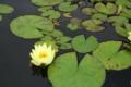 [京都][府立植物園][植物]水上のパックマン?!