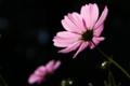 [京都][植物]京都新聞写真コンテスト 光を浴びたコスモス