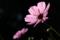 京都新聞写真コンテスト 光を浴びたコスモス