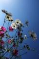 [京都][植物]京都新聞写真コンテスト 青空が似合うね