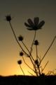 [京都][植物]京都新聞写真コンテスト 夕暮れのコスモス