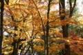 [京都][紅葉]京都新聞写真コンテスト 黄金の森