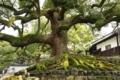 [京都][植物]大樹