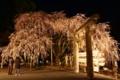 京都新聞写真コンテスト 大石桜