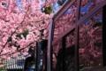 京都新聞写真コンテスト 花見観光