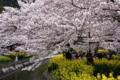 京都新聞写真コンテスト 疎水縁の春