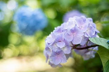 薄い青色の紫陽花