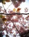 [VQ1015 R2][桜]